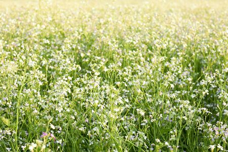 Blooming field of rape plant in the meadow. beautiful background and backdrop, texture, copy space, closeup. Organic agriculture and farming concept