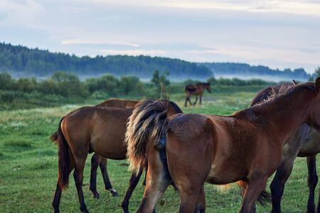 A herd of horses grazing on the meadow nearby the forest, one of them is pooping, closeup. Agriculture manure and natural fertilization concept