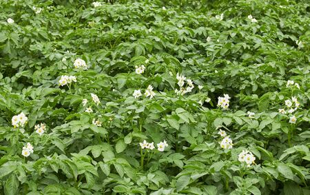 Potato plant blooming during vegetation with white flowers and young leaves in the field, agrarian  background, grow your own and eco food agribusiness concept