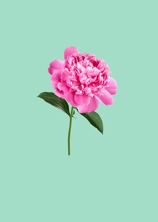Spring and summer floral holiday design with pink peony isolated on aqua menthe background, copy space, closeup, creative festive mothers or womens day concept
