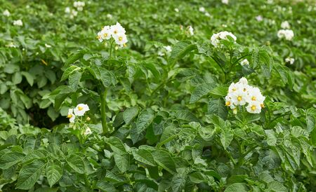 Potato plant blooming during vegetation with white flowers and young healthy growth in the field, agrarian  background, grow your own and eco food agribusiness concept Standard-Bild