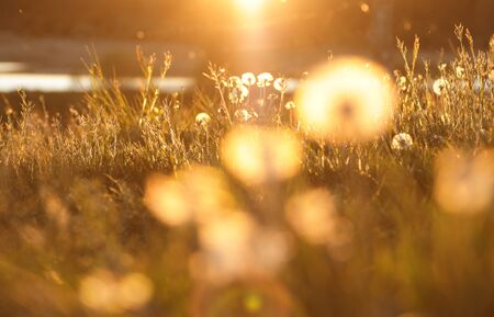 Dandelions shining at sunset, bright warm colors of summer meadow with lake on the background, closeup, copy space, background for your summertime design