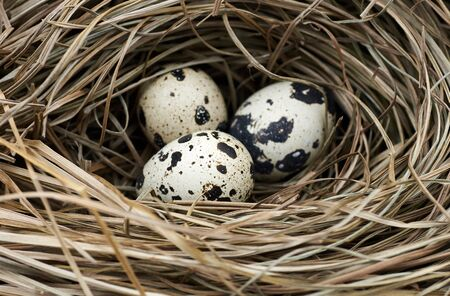 Quali or wild bird eggs in the nest made of dry grass and straw, macro, closeup, copy space, easter and spring holiday concept