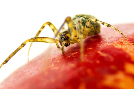 Spider walking on an apple