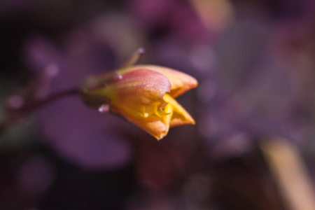 Flower of a Creeping Woodsorrel that is starting to blossom Stok Fotoğraf