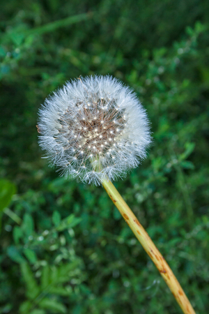 Dandelion seed head with the seeds waiting to blown in the wind Stok Fotoğraf