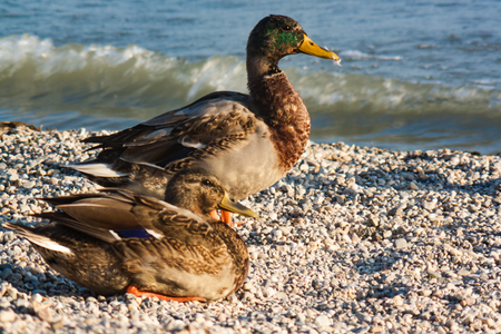A male and a female mallard duck on a lakeside beach