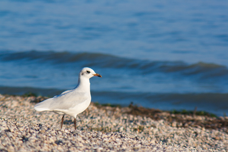 Black-headed gull taking a stroll on the coast of lake garda.