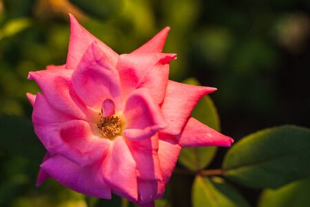 Pink rose flower with triangle shaped pointy petals Stok Fotoğraf