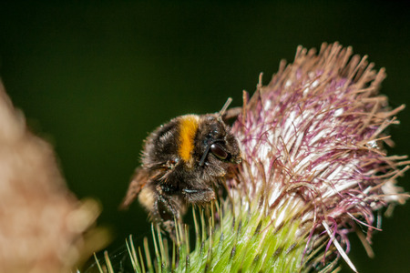 A bumblebee feeding on the nectar in a spear thistle Stok Fotoğraf