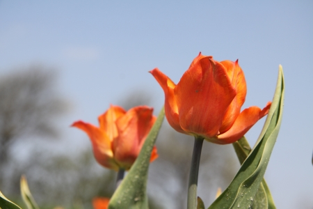 Set of Orange Tulips photo