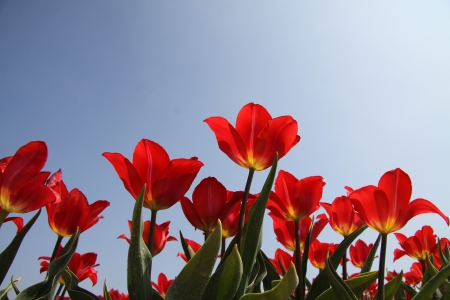 Red Tulips bleu sky photo