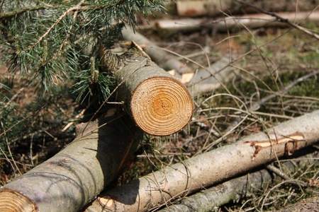 timber harvesting: freshly cut log in woods Stock Photo