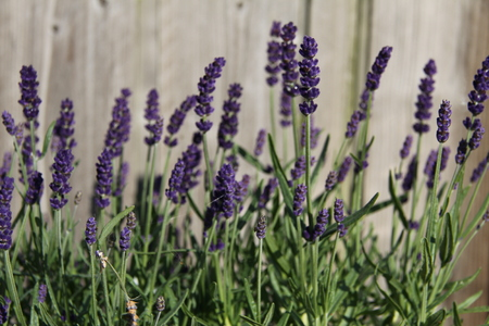 olfactory: Lavender in the garden