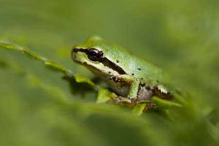 green tree frog: A small green tree frog clings to a fern. Stock Photo