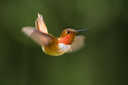 rufous: A colorful Rufous Hummingbird swoops in for a closer look Stock Photo