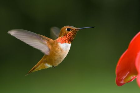 feeder: A male Rufous Hummingbird hovers at the feeder.