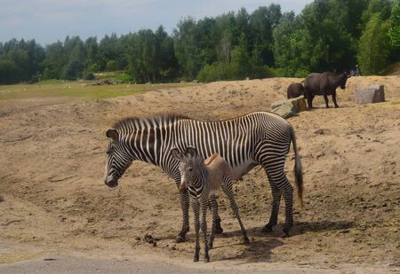 African zebra with baby ...