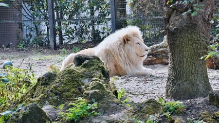 The lion albino lies in the sand ...