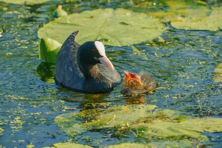 Bald-coot with a baby bird ... Stock Photo