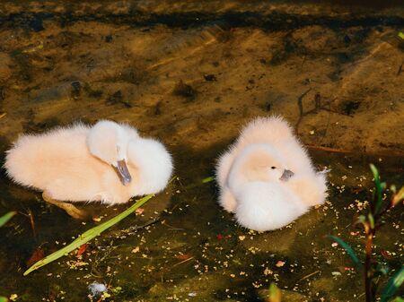 Baby birds of white swans.