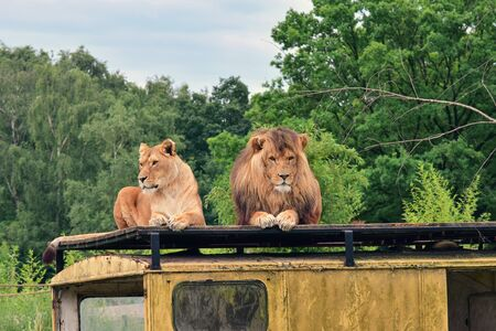 Netherlands. Safari A couple of lions on a roof of the car ... Stock fotó