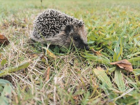 A hedgehog walks through a clearing, looking for food ...