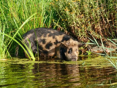 A little pig went into a river to get drunk water ...