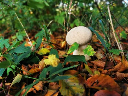 Growing lamellar mushroom in a colorful autumn forest ...
