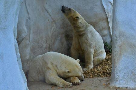 Couple of polar bears. Stok Fotoğraf