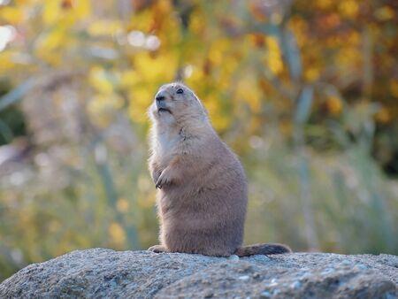 Groundhog on a big stone ... Stock Photo