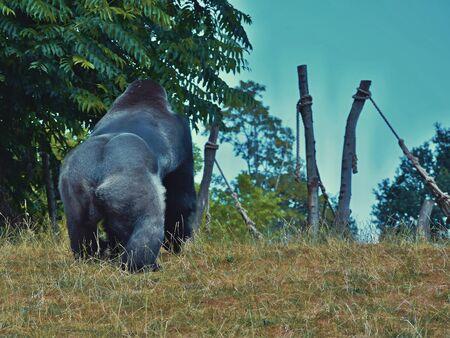 Massive body of a gorilla ...