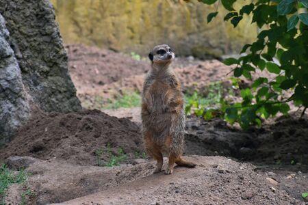 Meerkat on a sentry post ...