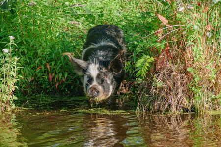 Spotty pig at the small river ... Zdjęcie Seryjne