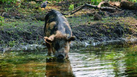 The pig drinks water ... Zdjęcie Seryjne