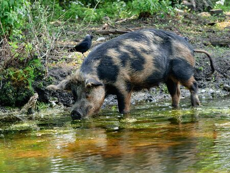 The pig has come into water ...