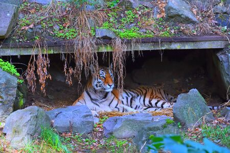 The tiger lies under a canopy, hiding from the weather ... 스톡 콘텐츠