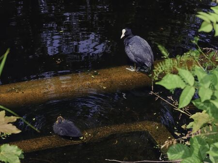 Bald-coot and baby bird on pipes in a reservoir ...