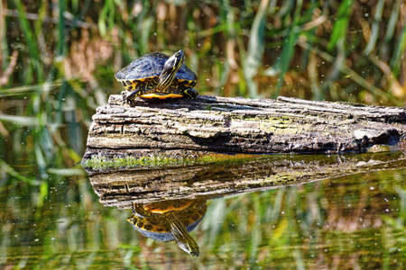 A turtle on an old submerged log basking in the sun Banco de Imagens