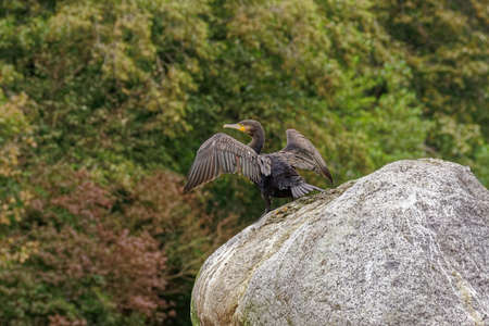 Standing on a huge cobblestone cormorant dries its wings
