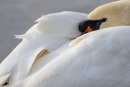 The white swan is resting with its head on its back and slightly covered with its wing