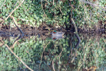 One of the smallest river ducks teal-whistle (Anas crecca) swims in a narrow reservoir. Den Haag. Netherlands