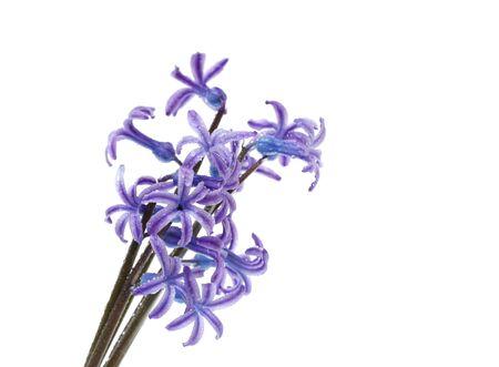 hyacinthus: hyacinthus flower