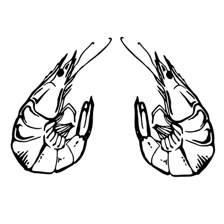 Sketch vintage shrimp drawing. Hand drawn monochrome seafood illustration. Çizim
