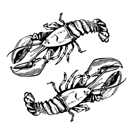 Vector sketch illustration of a lobster on a white background. Fresh organic seafood. Hand drawing illustration