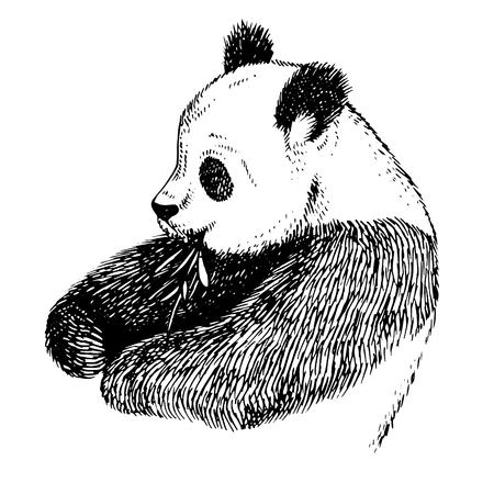 Sketch Panda with bamboo. Engrave ink draw panda illustration. Hand drawn panda bear