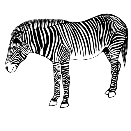 Sketch of a zebra. Hand drawn zebra illustration.Black and White Zebra portrait ink engraved isolated on white background.