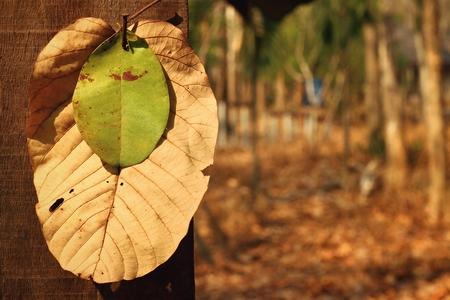 hojas secas: Clavos de metal que cuelgan hojas verdes y hojas secas.