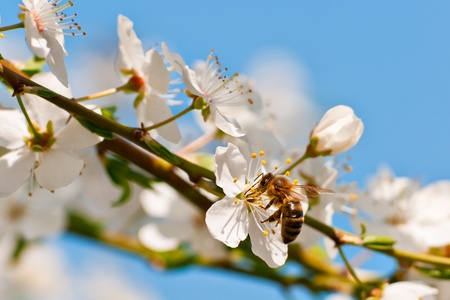 bee on blooming apple tree photo