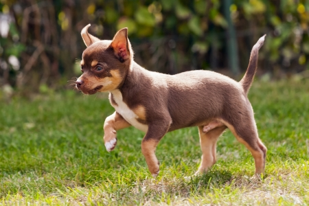 black tail deer: beautiful little chihuahua in slow running on the grass